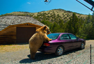 Expedition Wild II: When Grizzlies AttackNGC US Episode Code: 5229