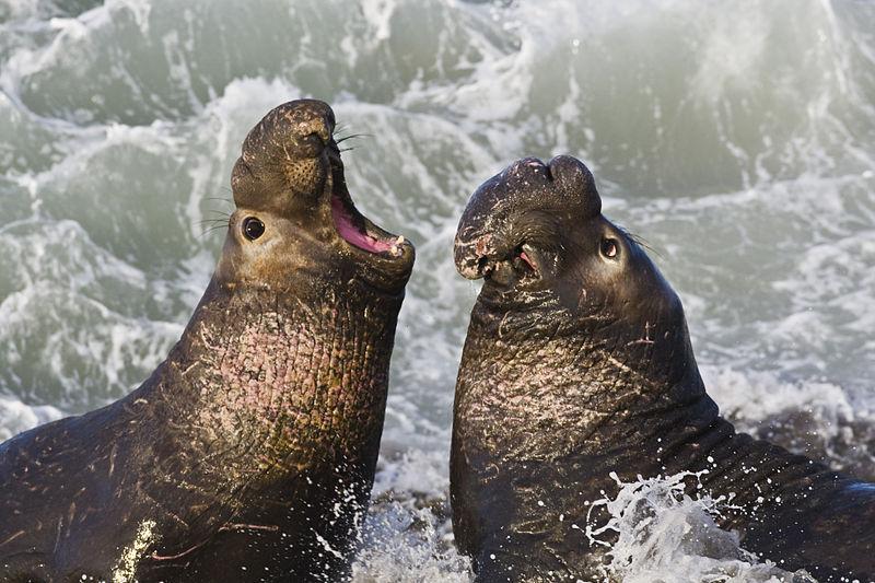 800px-Northern_Elephant_Seal,_San_Simeon2